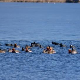 © Johannes Almer: Jetzt in den Sommermonaten befinden sich auf dem Chiemsee viele Wasservögel, wie hier Kolbenenten und Blässrallen, in der Mauser. In dieser Zeit wird das gesamte Großgefieder erneuert und so sind die Vögel für einige Wochen flugunfähig und damit besonders störanfällig. Umso wichtiger, dass sie sich dann in die Ruhezonen zurückziehen können.