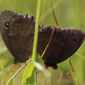 """© Landratsamt Traunstein: Der Schmetterling """"Riedteufel"""" (im Bild) fühlt sich vor allem auf sehr nassen Wiesen wohl."""