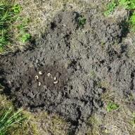 ©Landratsamt Traunstein: Die wirkungsvollste Bekämpfung der Engerlinge ist das Absammeln der Käferlarven, dann können sich diese Exemplare nicht verpuppen und als Käfer neue Eier ablegen. Aber dafür muss man selbst graben.