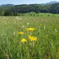 © Landratsamt Traunstein: Der Vertragsnaturschutz fördert blühende Wiesen wie hier im Bergener Moos, die eine außergewöhnliche Vielfalt von Pflanzen- und Tierarten beherbergen.